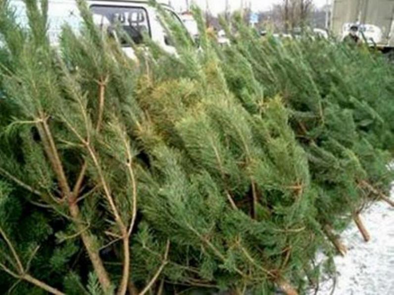 Главный лесничий рассказал по чем будут елки в Днепропетровске