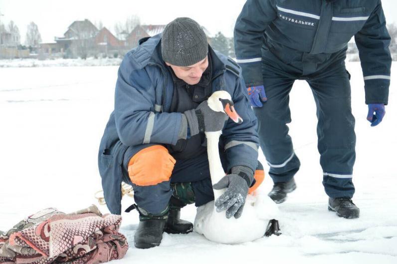 В Днепре спасли лебедя, который получил огнестрельное ранение и не смог улететь в теплые края