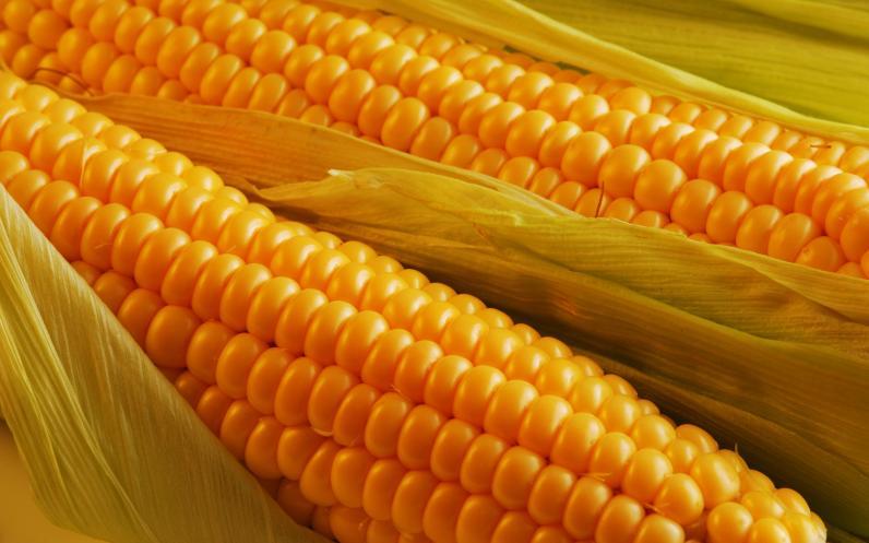 На Днепропетровщину пытались ввезти зараженную американскую кукурузу