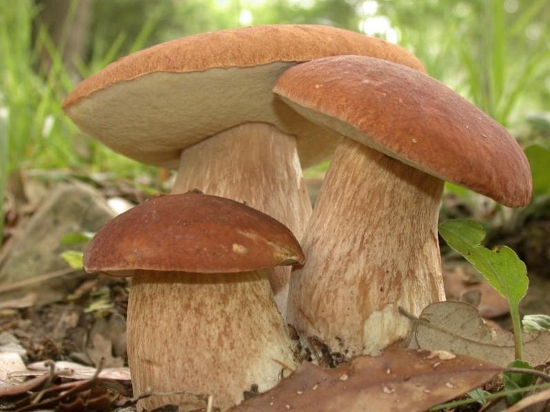 Сезон «тихой охоты»: как не отравиться грибами